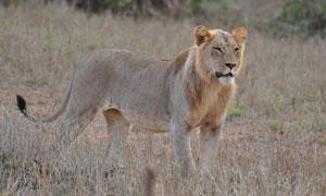草原上保持警惕的狮子摄影高清图片