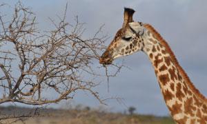 伸着脖子的长颈鹿特写摄影高清图片