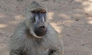 一只坐地上休息的狒狒摄影高清图片