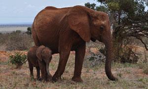 荒凉草原上的两只大象摄影高清图片