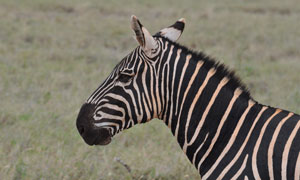草原上的一只斑马特写摄影高清图片