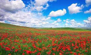 蓝天下的红色花海风光摄影高清图片