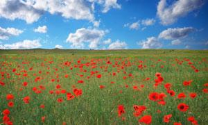蓝天白云红色鲜花植物摄影高清图片