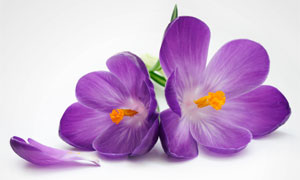 紫色花瓣与藏红花特写摄影高清图片