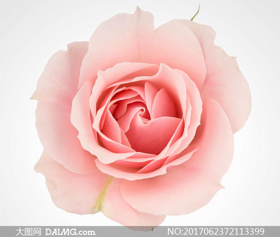 一朵粉色的玫瑰花特写摄影高清图片