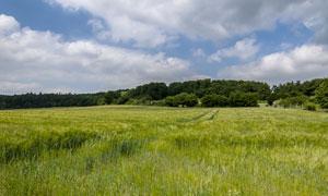 蓝天下的田园麦地摄影图片