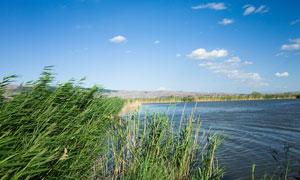 蓝天下的美丽湖泊和芦苇摄影图片