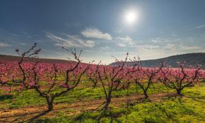 阳光下的美丽桃花林摄影图片