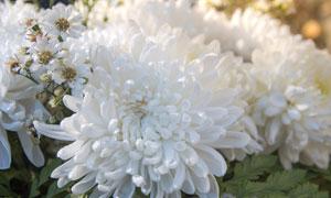 洁白如雪一样的大菊花摄影高清图片