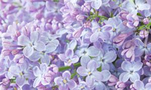 春暖花开时节的丁香花摄影高清图片