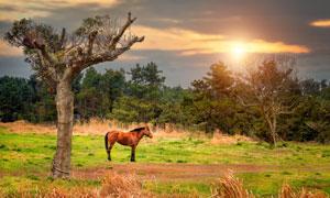 栓在树上的一匹枣红马摄影高清图片