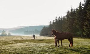 远山树木与吃草的马匹摄影高清图片