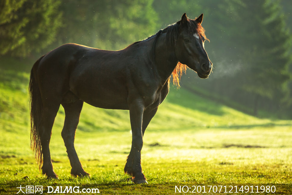 草地上的一匹黑马特写摄影高清图片 - 大图网设计素材图片