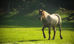 牧场上身强体壮的一匹好马高清图片