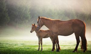 牧场上的一大一小的两匹马高清图片