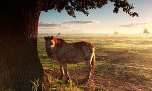 在大树下的一匹癞痢马摄影高清图片