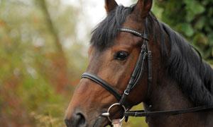 黑鬃毛的红马近景特写摄影高清图片
