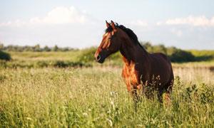 牧场草丛中的一匹骏马摄影高清图片