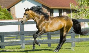 奔跑在牧场里的一匹马摄影高清图片