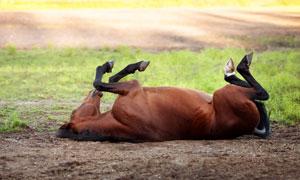 在地上打滚儿的一匹马摄影高清图片
