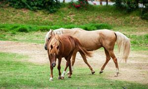 在求偶伺机交配的马匹摄影高清图片