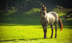 在牧场草地上的一匹马摄影高清图片