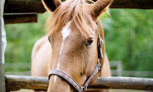 把脑袋探出护栏的马匹摄影高清图片