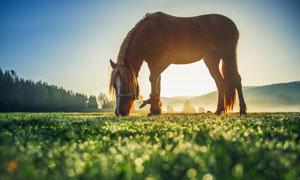 牧场上低下头吃草的马摄影高清图片