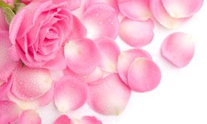 带着水珠的粉嫩色玫瑰花瓣高清图片
