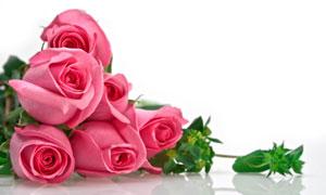 鲜艳的几朵粉红玫瑰花摄影高清图片