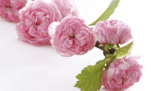 粉红色的一朵鲜花特写摄影高清图片