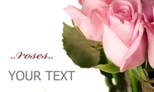 粉红色的玫瑰花朵特写摄影高清图片