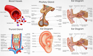 人体多部位解剖效果矢量素材集V1