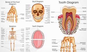 人体多部位解剖效果矢量素材集V4