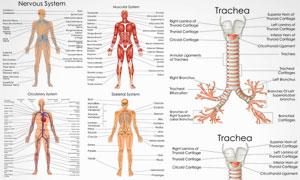 人体多部位解剖效果矢量素材集V5