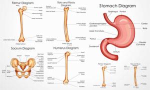 人体多部位解剖效果矢量素材集V6