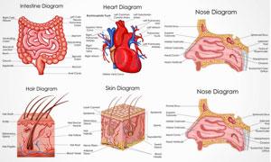 人体多部位解剖效果矢量素材集V7
