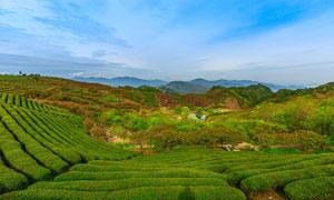 山中美丽的茶园景色摄影图片