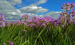 蓝天下美丽的紫色野花摄影图片