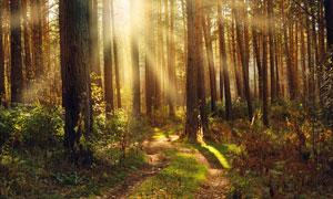 早晨日出下的森林美景摄影图片