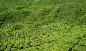 茶山茶园高清全景摄影图片