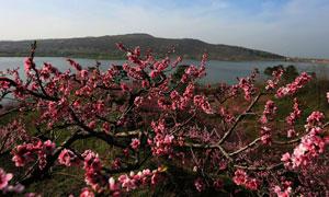 湖边美丽的桃花树摄影图片