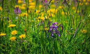 美丽的野花和草丛近景摄影图片