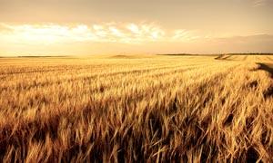 秋季农场美丽的麦田摄影图片