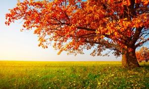 秋季野外美丽的大树摄影图片