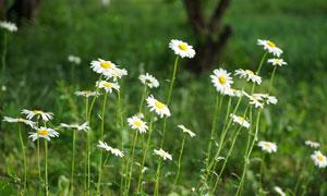 野外美丽的雏菊近景摄影图片