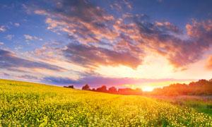夕阳下美丽的油菜地摄影图片