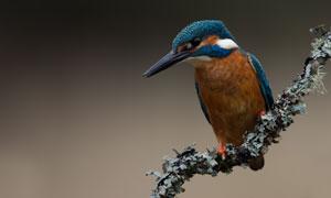 树枝上的翠鸟近景特写摄影高清图片