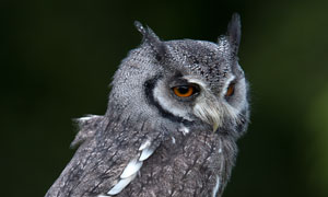 枯木枝上的猫头鹰特写摄影高清图片