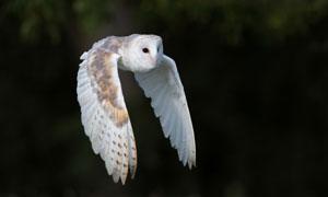 飞在空中的白色猫头鹰摄影高清图片